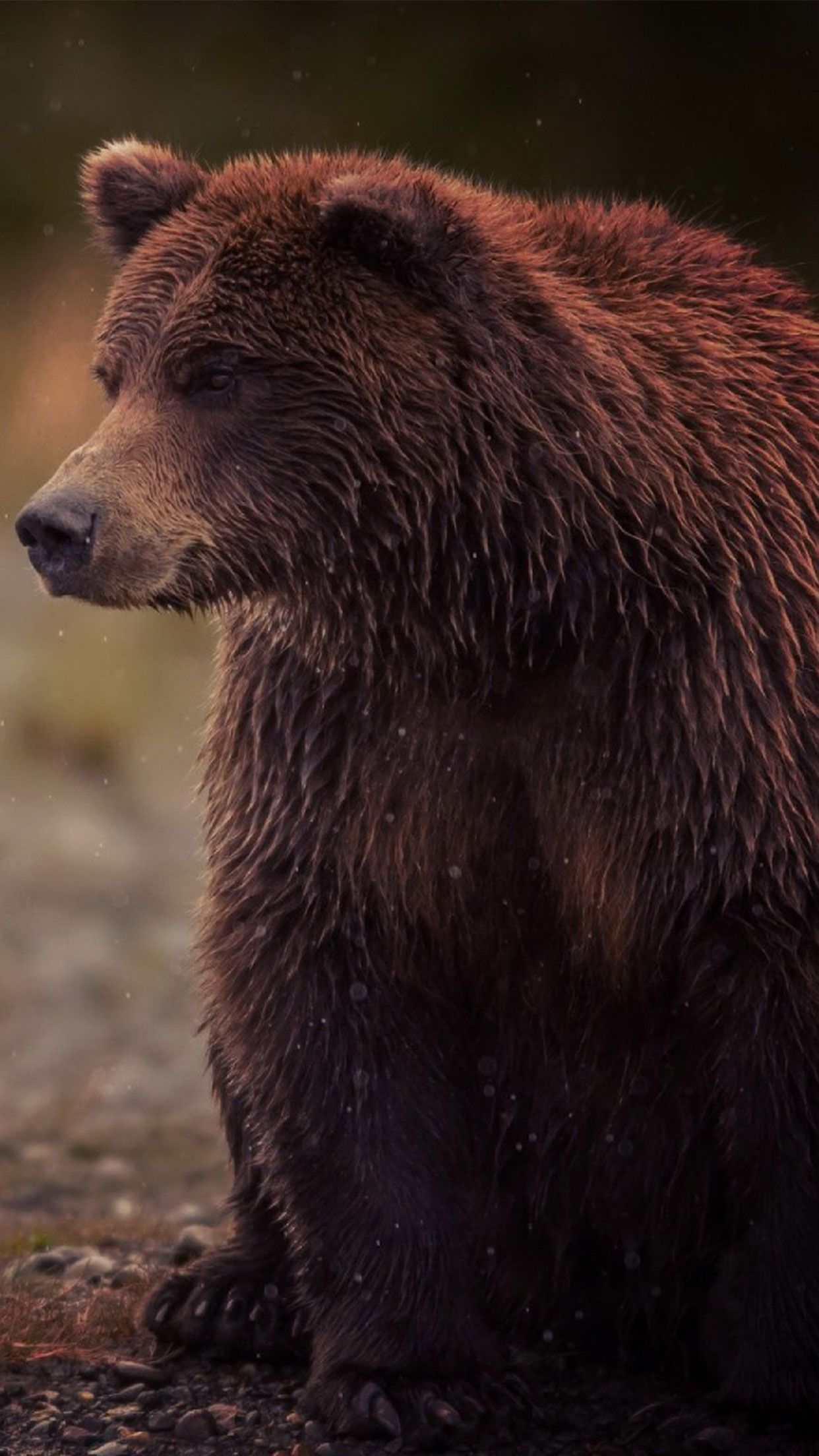 Brown Bear Animal Wallpaper #Iphone #android #bear #animal