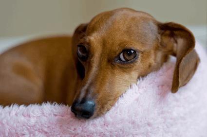 Dachshund Temperament Personality Dog Breeds Dachshund