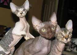 Wisecracks Devon Rex Kittens For Sale With Images Devon Rex Cats Rex Cat Devon Rex Kittens