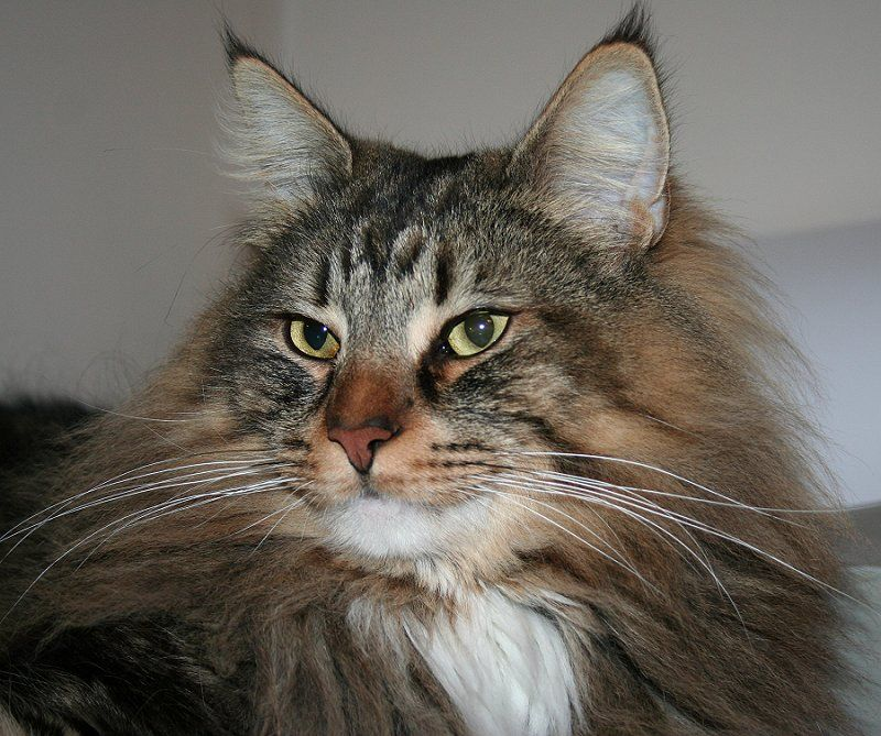 A Norwegian Forest Cat breeder of Norwegian forest cat