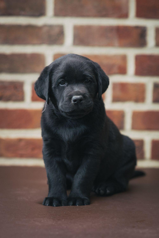 Angebot Fur Zuchter Labrador Hund Hunde Fotos Hundebilder