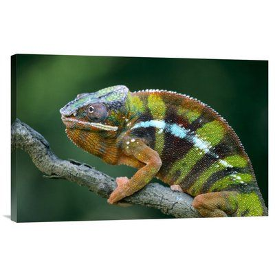 "East Urban Home 'Panther Chameleon Male' Photographic Print on Canvas Size: 16"" H x 24"" W x 1.5"" D"