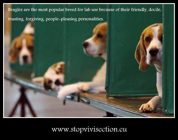 Pin By Veronika Marchina On S O S Beagles Dog Show