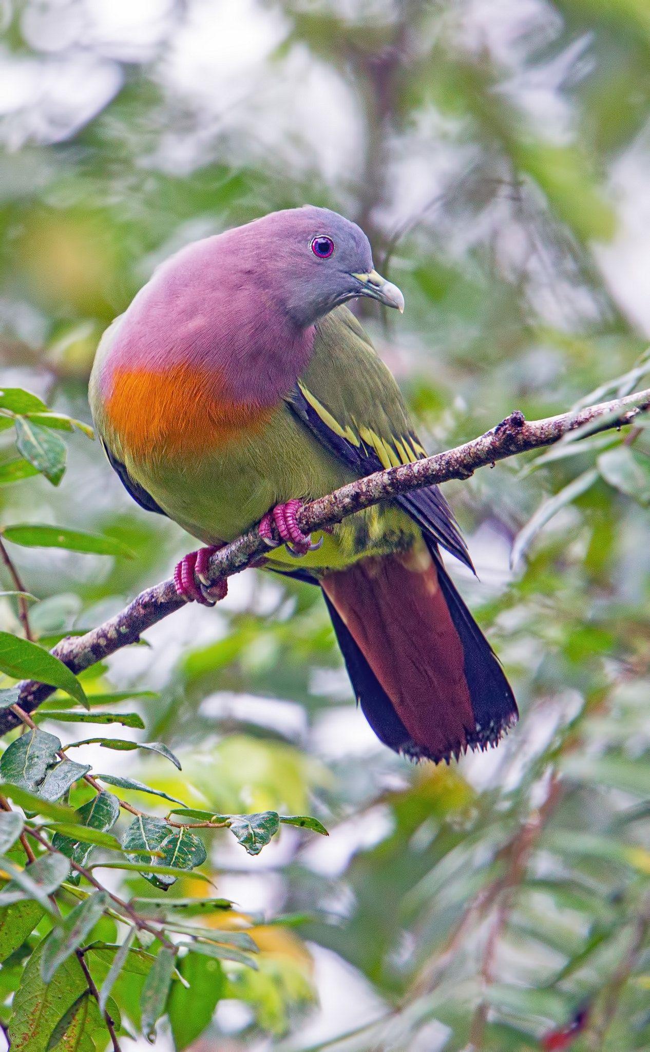 pink necked green pigeon treron vernans bird beautiful birds
