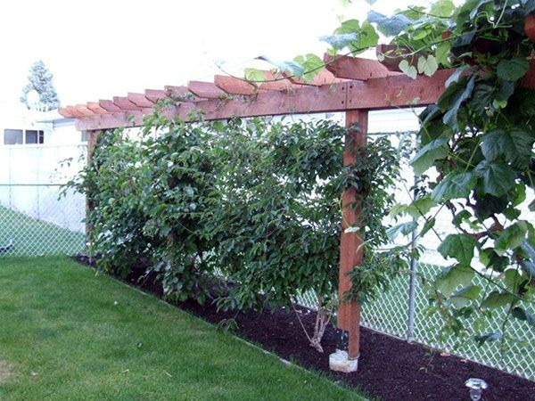 hardy kiwi vine growing on two wires in this dividing pergola garden and berries pinterest. Black Bedroom Furniture Sets. Home Design Ideas