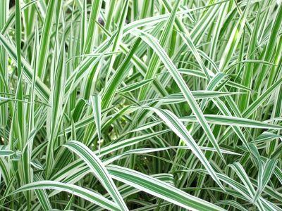 Short Ornamental Grasses