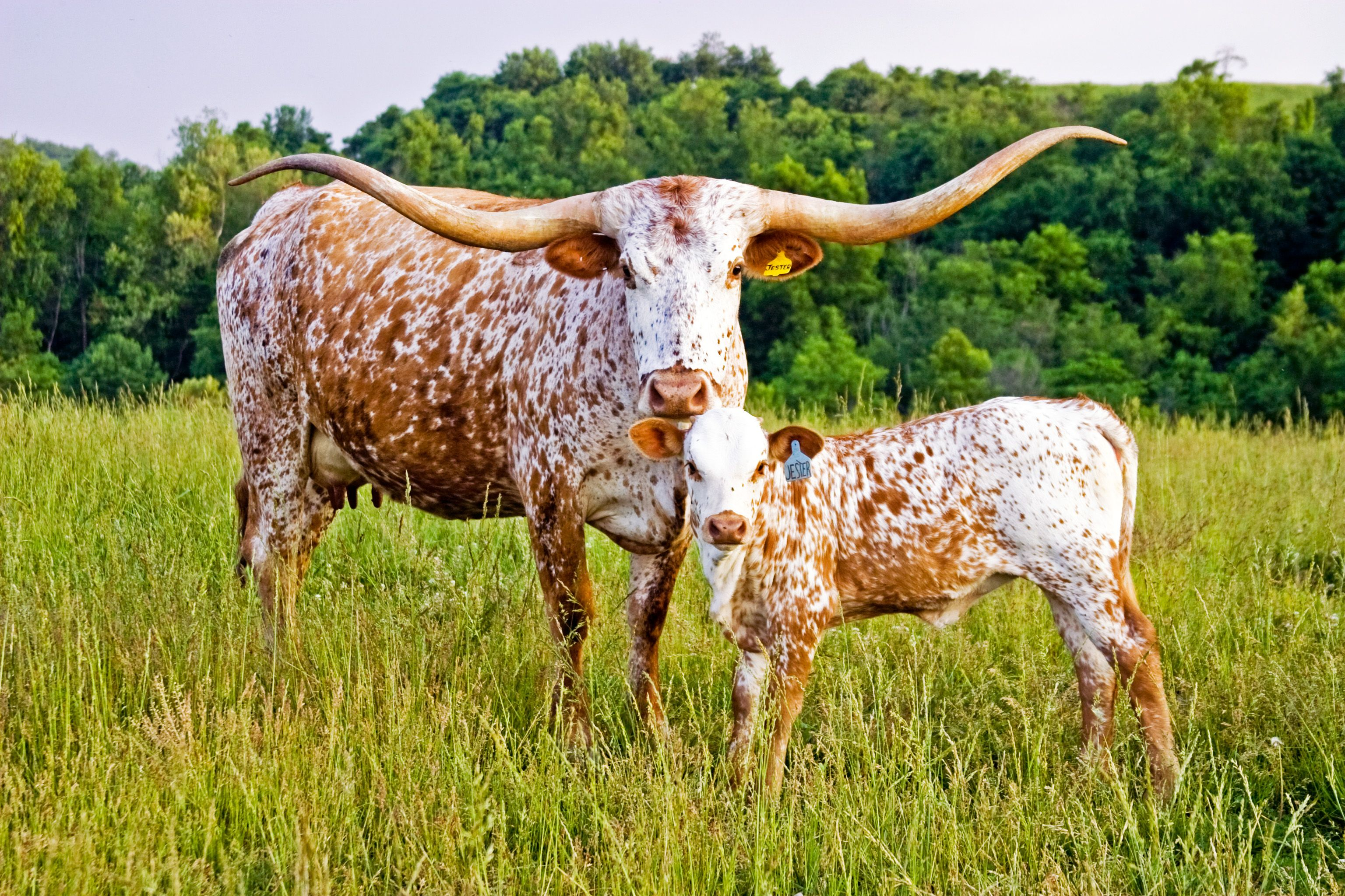 texas longhorn cattle information Thus evolved the texas longhorn, imported by spanish explorers, refined by   in the late nineteenth century, cattle breeds from europe and asia became.