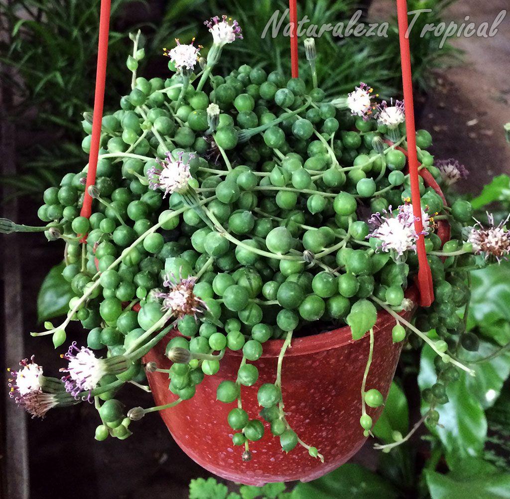 15++ Planta rosario cuidados ideas