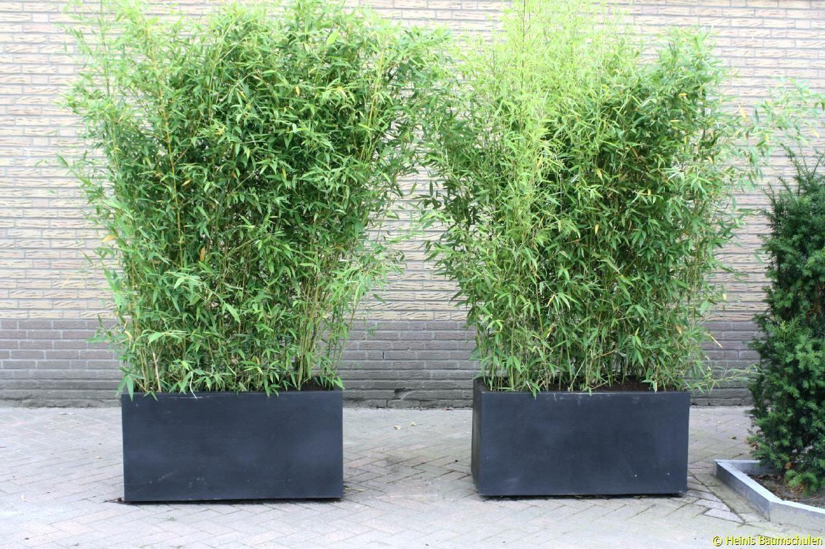 Image Result For Pflanzen Sichtschutz Terrasse Kubel Bambus