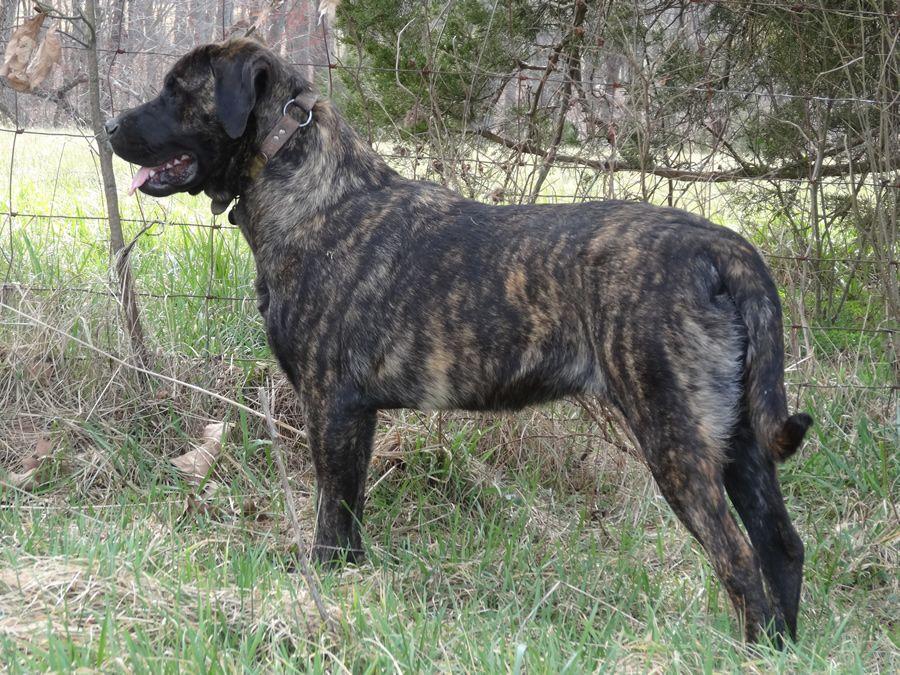 Brindle Mastador Mastador dog, Brindle, Fur babies