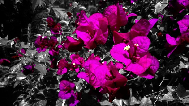 """""""Hot pink bougainvilleas over monochrome background"""" Posters by cesarpadilla 