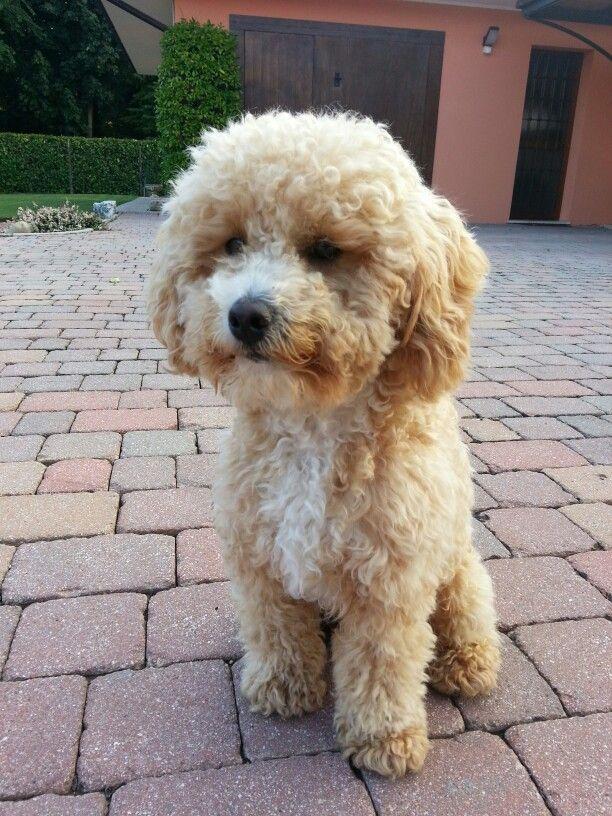 Poddle Barboncinonano Mylove Pets