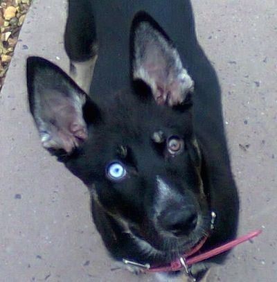 A Black With Tan And White Gerberian Shepsky Puppy With One Blue