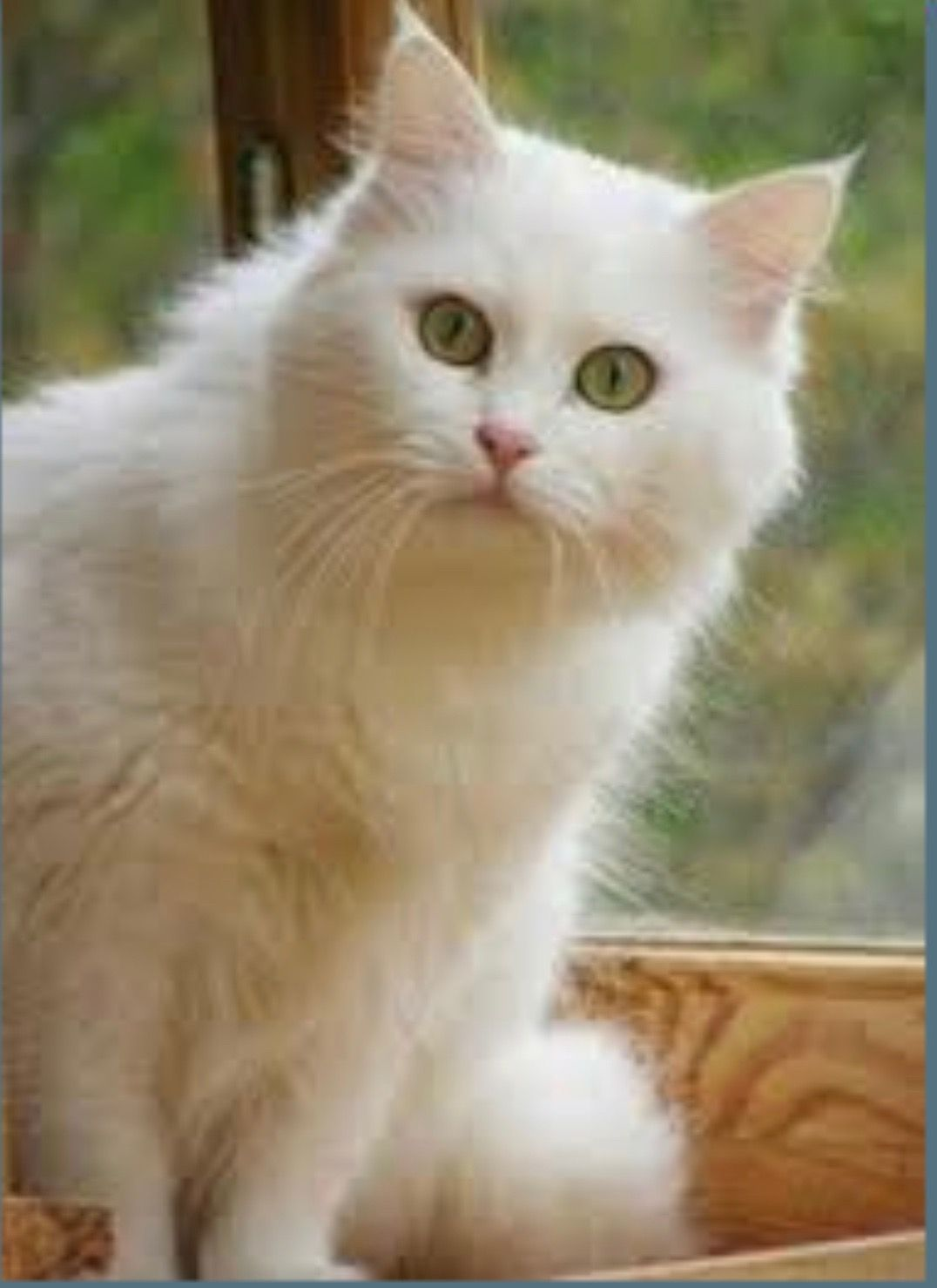 Beautiful White Kitten With Images Pretty Cats Cute Cats And