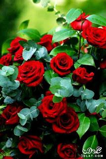 صور ورود 2020 اجمل صور زهور احلى صور ورود جميلة زينه Beautiful Rose Flowers Rose Flower Wallpaper Beautiful Flowers Wallpapers