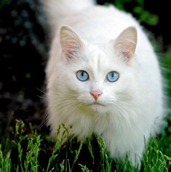 White Cat Blue Eyes Photography Pet Portrait Fine Art By Mjgphotos