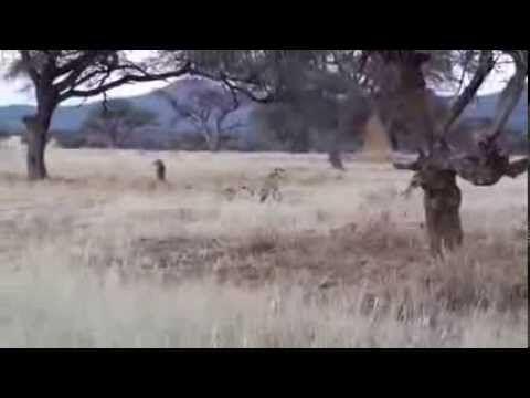 Trial Error and Kill - YouTube. Cheetahs honing their hunting skills in the Okonjima Nature Reserve.