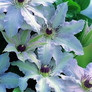 Awesome Buy Clematis Clair De Lune Perennial Vines Online. Garden Crossings Online  Garden Center Offers A