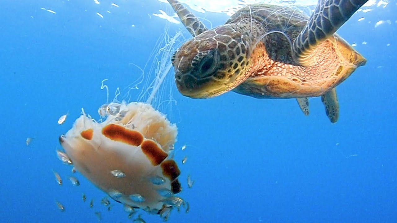 شاهد سلحفاة يلتهم قنديل البحر على طريقة اكل السباغيتي Lion S Mane Jellyfish Lion Mane Lion Turtle