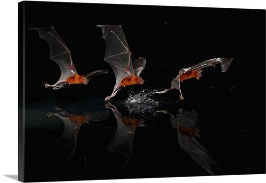 Greater Bulldog Bat (Noctilio leporinus) fishing, Barro Colorado ...