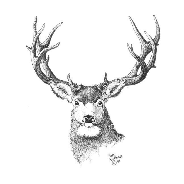 Image De Art Deer And Drawing: Mule Deer Pencil Drawings Wallpaper