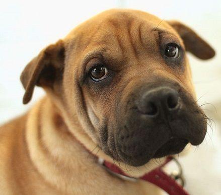 Dexter The Pug Mix Chihuahua Pug Pug Mix Mixed Breed Dogs Pugs