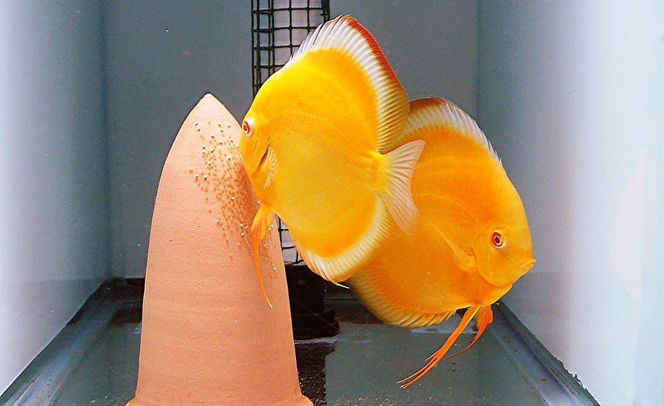 Photo Gallery Of Discus Fish Live Tropical Fish Live Tropical Fish In 2020 Discus Fish Tropical Fish Aquarium Tropical Freshwater Fish