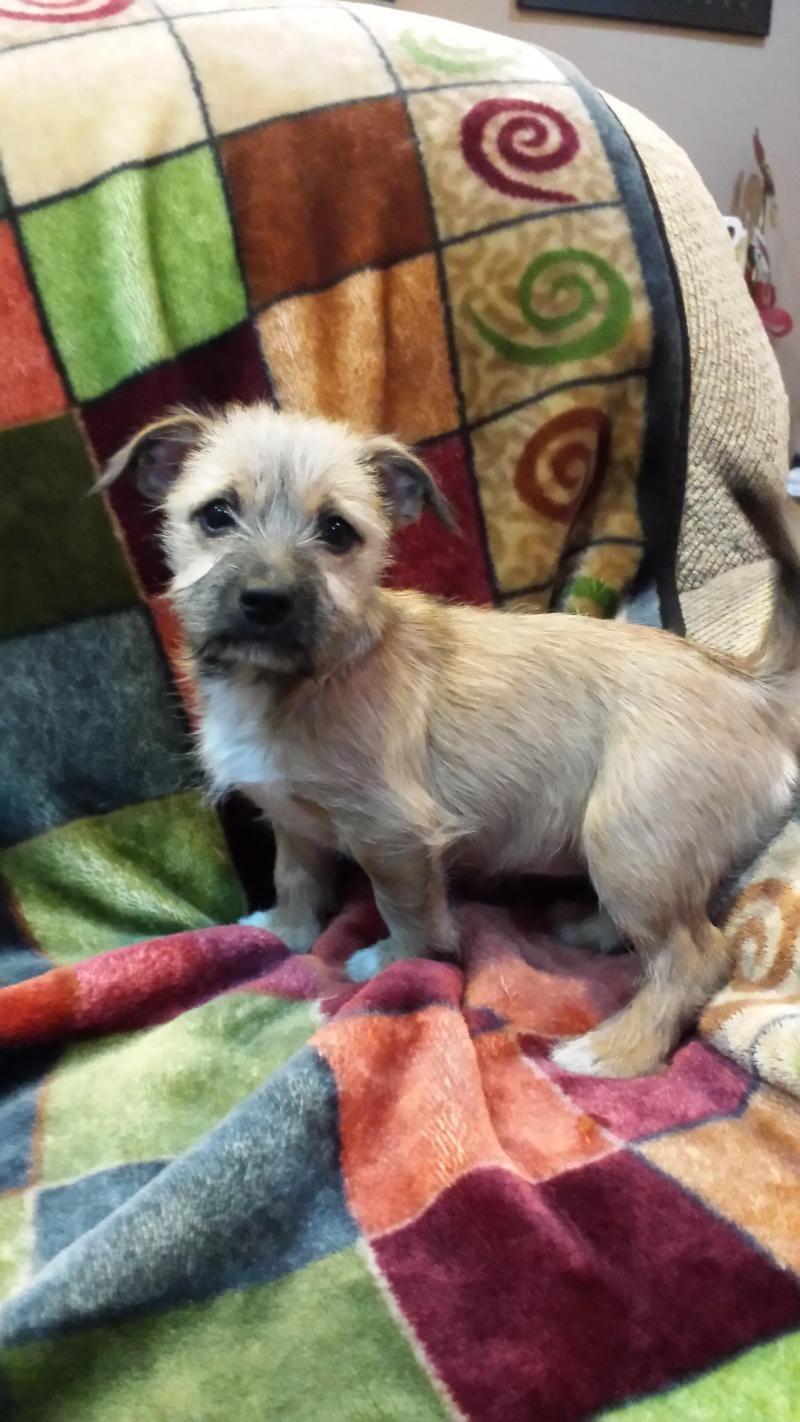 Meet Laney A Petfinder Adoptable Border Terrier Dog Andover Mn