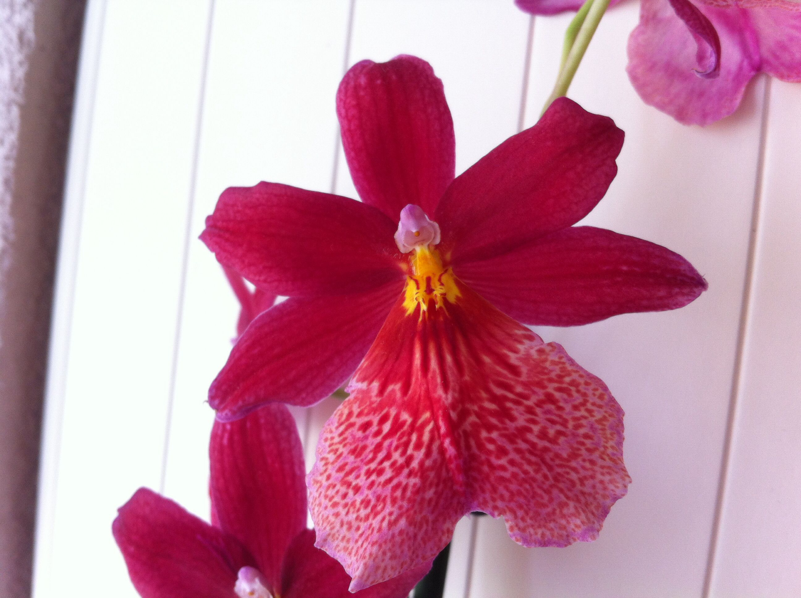 Orchidee rot