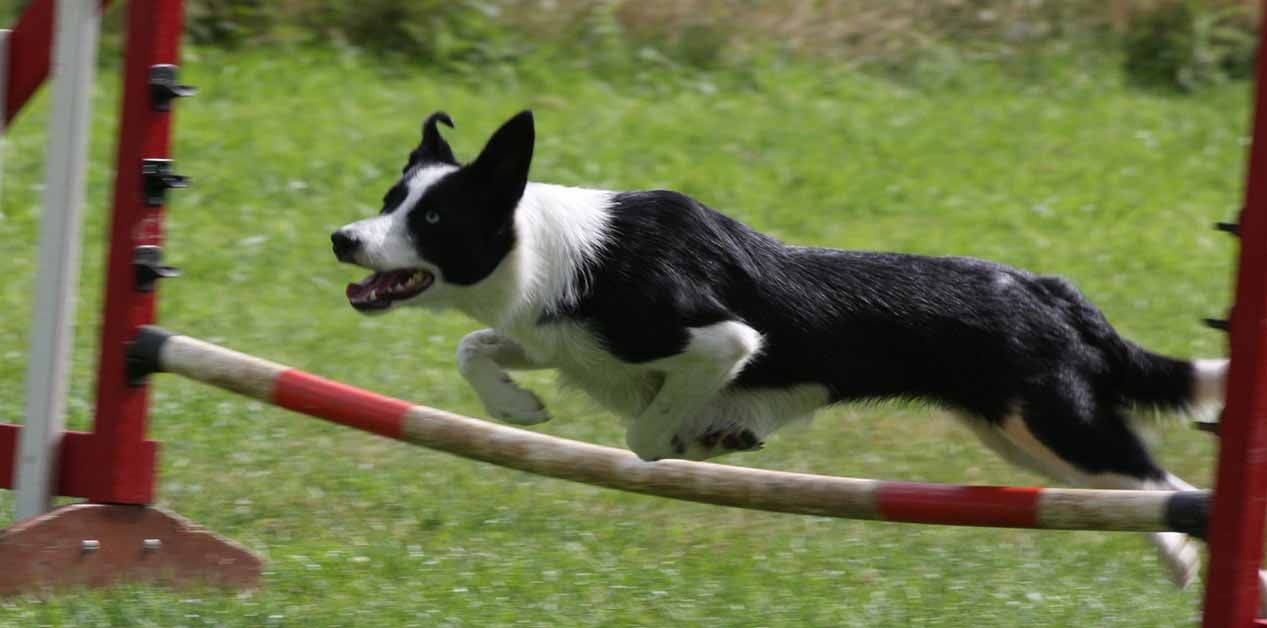 Border Collie Doing Dog Agility Puppy Classes Training Your Dog