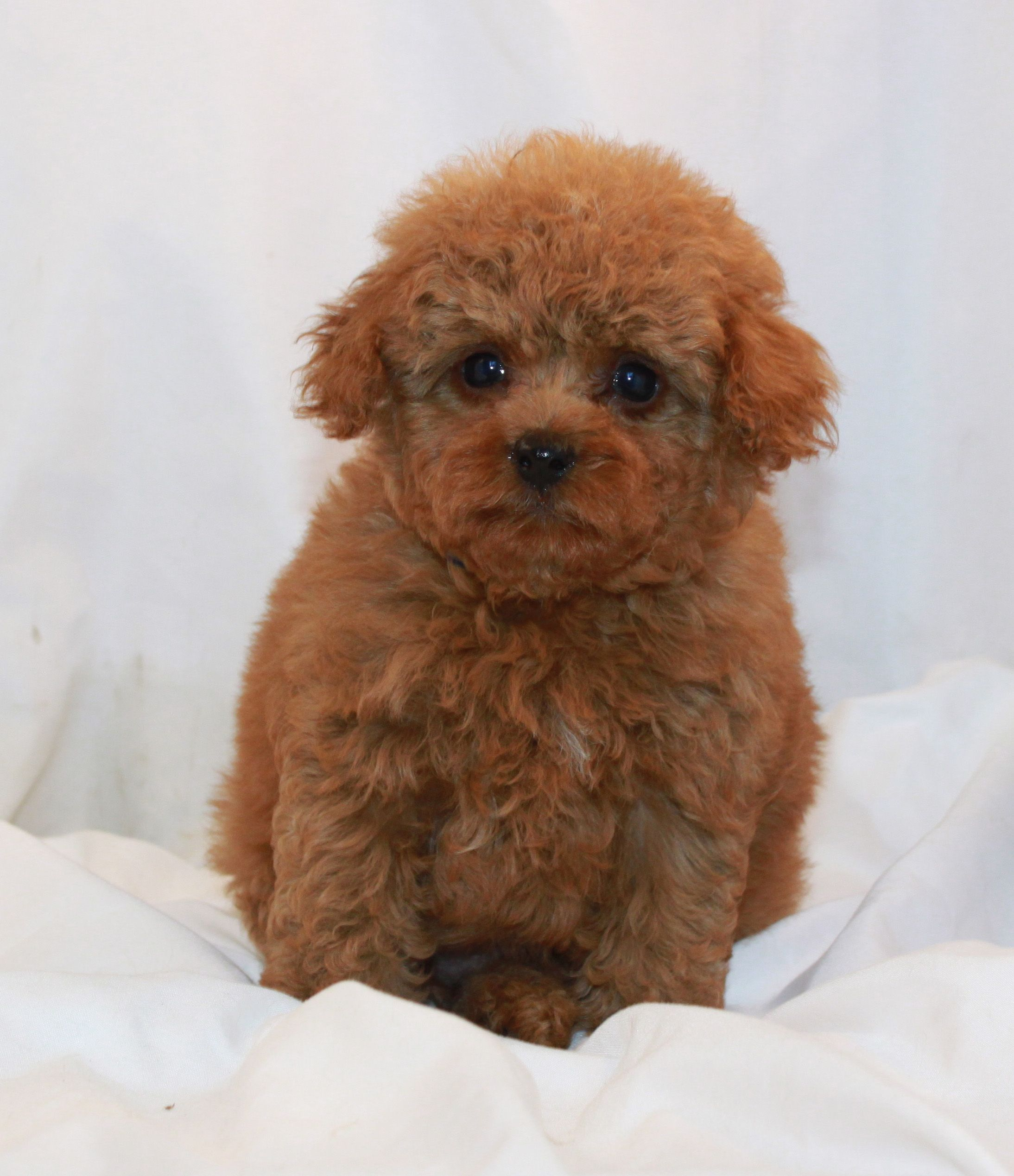Available puppies red and apricot poodles scarlets