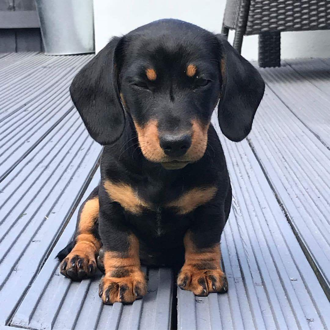 Pin By Linda Wilson On I Love Dachshunds Pets Pet Dogs