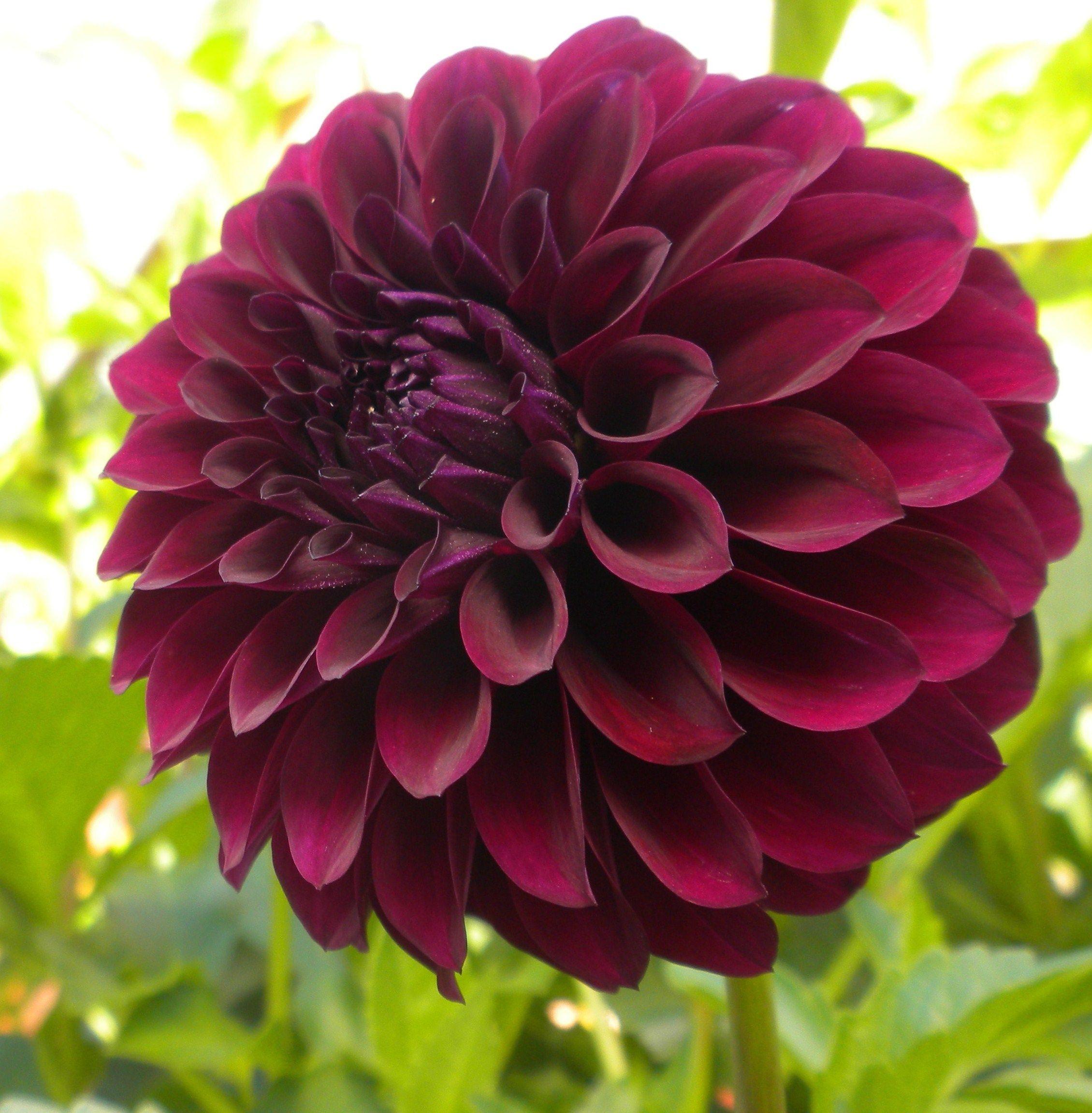 Black purple dahlias daliah flower flowers beautiful