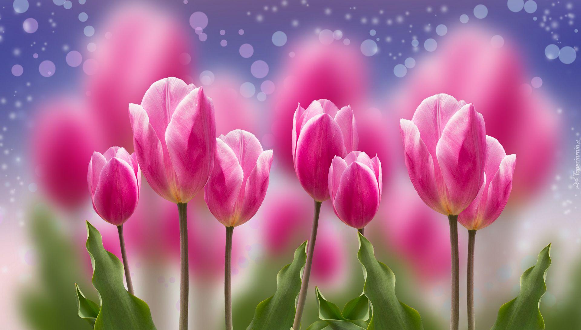 Kwiaty Rozowe Tulipany Rozmycie Flowers Rose Plants