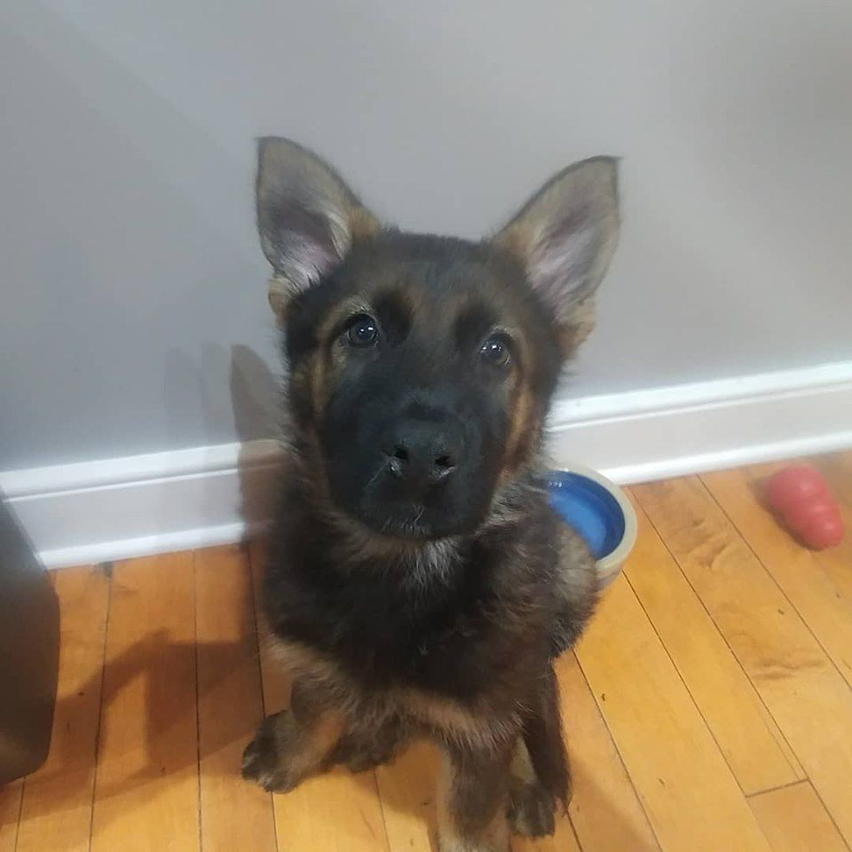 A Moment Of Calm From My 9 Week Old Working Line German Shepherd