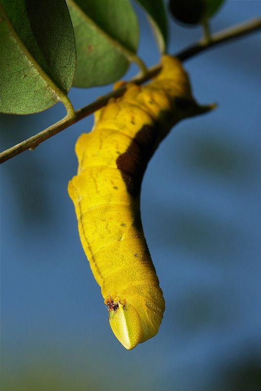 Pin On Caterpillars