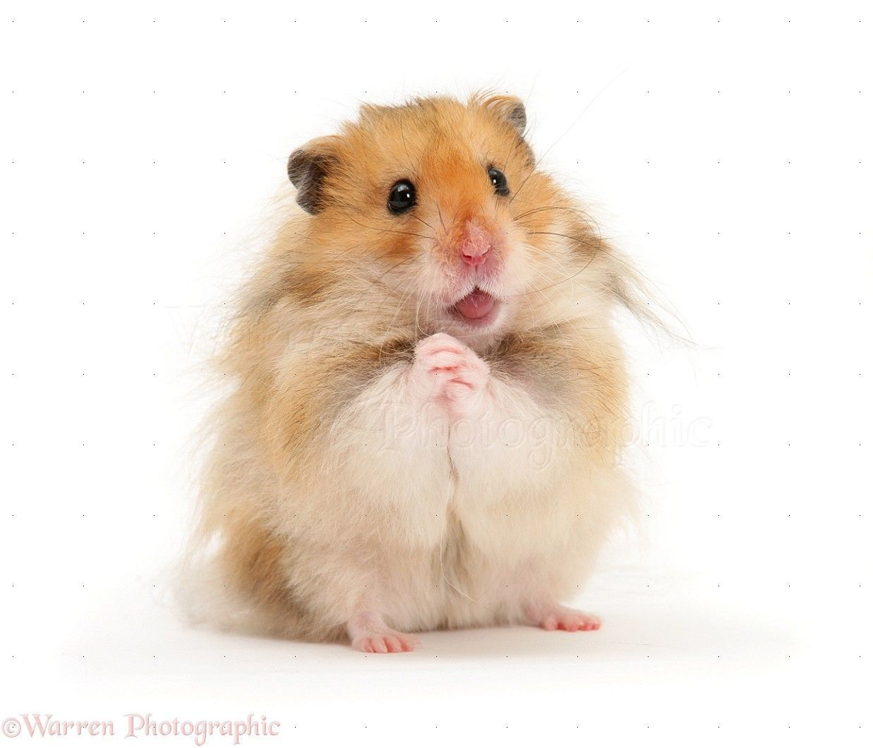 All About The Syrian Hamster A K A Golden Teddy Bear Hamster