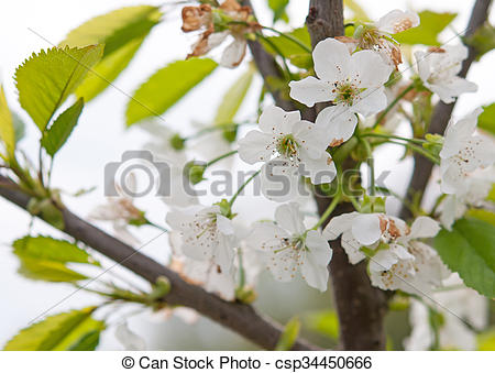 Pin By Nature Ambience On Gardening Photo Illustration In 2020 Cherry Blossom Blossom Photo