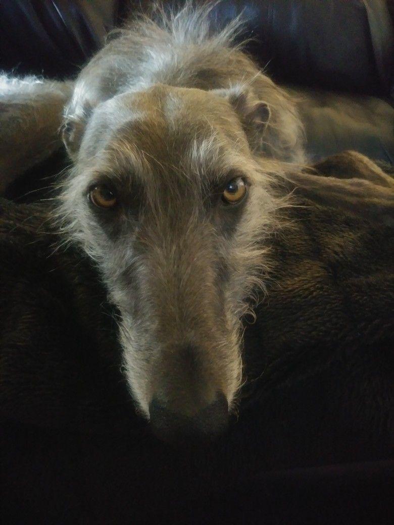 Pin by Lisa RippyMeese on Deerhound love Scottish