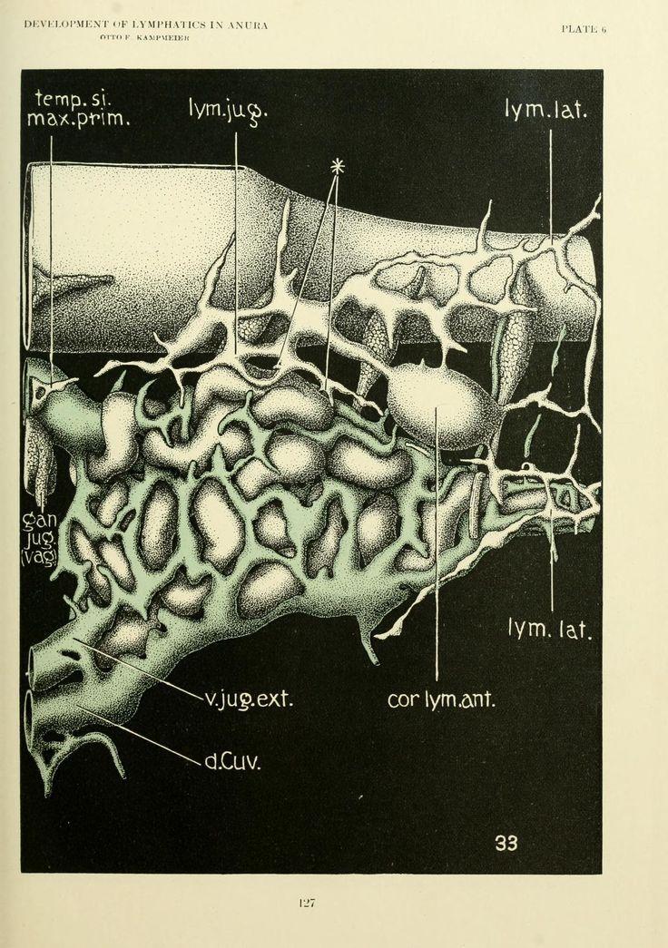 Nemfrog - tumblr Plate 6. Development of lymphatics in anura. The ...