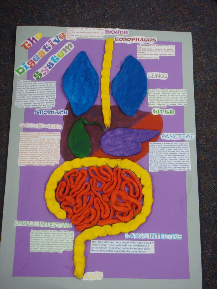 school 3d art project digestive system | Digestive system ...
