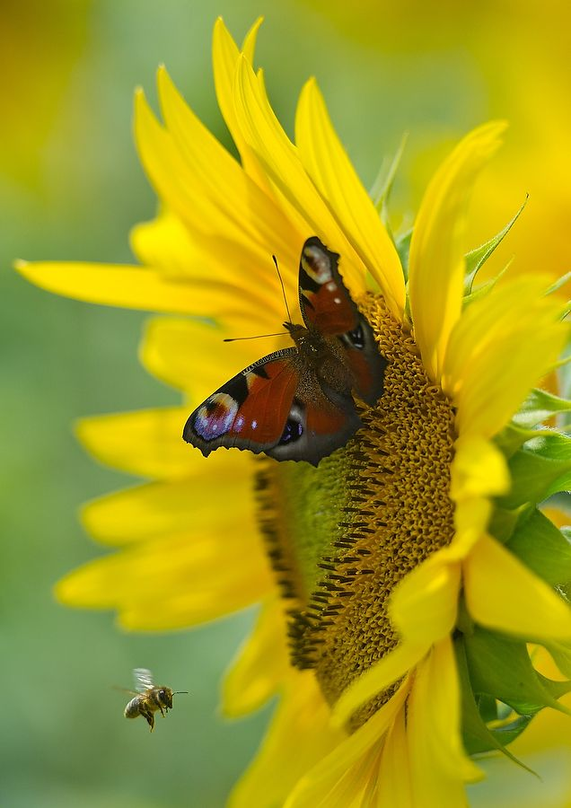Sunflower, butterfly and a bee.