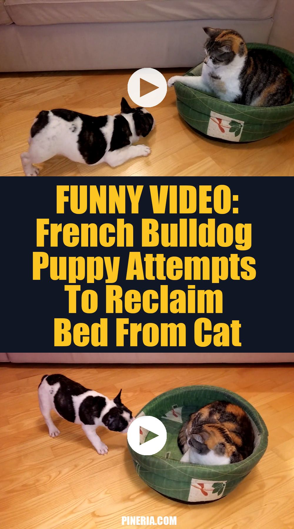 Funny Video French Bulldog Puppy Attempts To Reclaim Bed From Cat