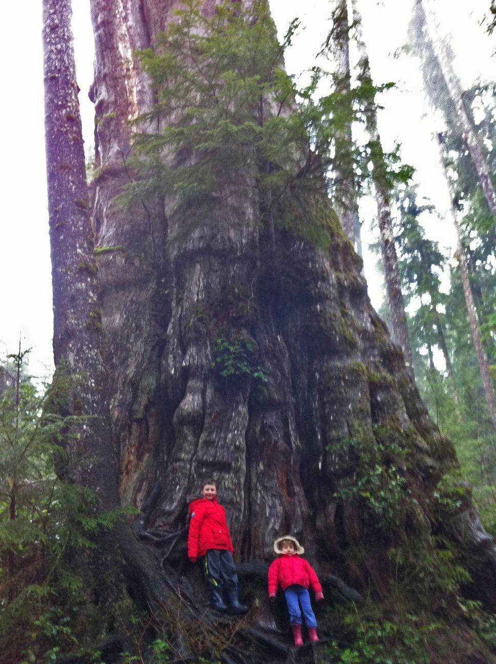 Big Cedar Tree hike near Lake Quinault Pacific coast
