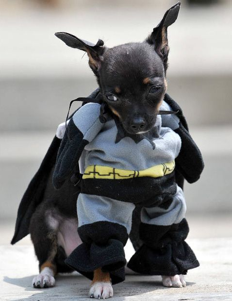 Cats And Dogs Get Ready For The Dark Knight Rises Dog