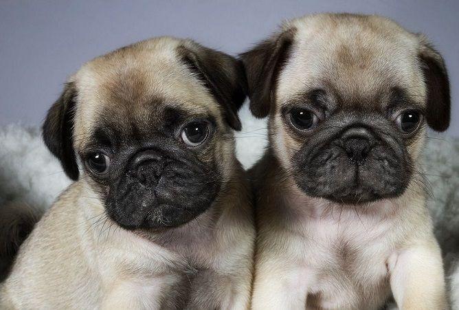 Pug Puppy S Cute Pug Puppies Cute Pugs Pug Puppies