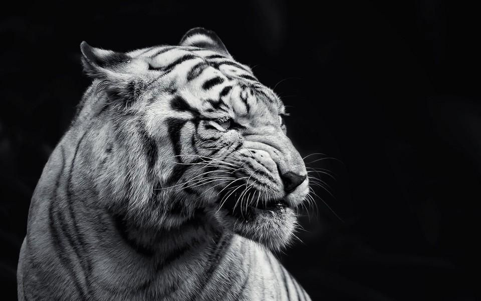 Ghrrrr By White Beauty Tiger Wallpaper Pet Tiger Angry Tiger