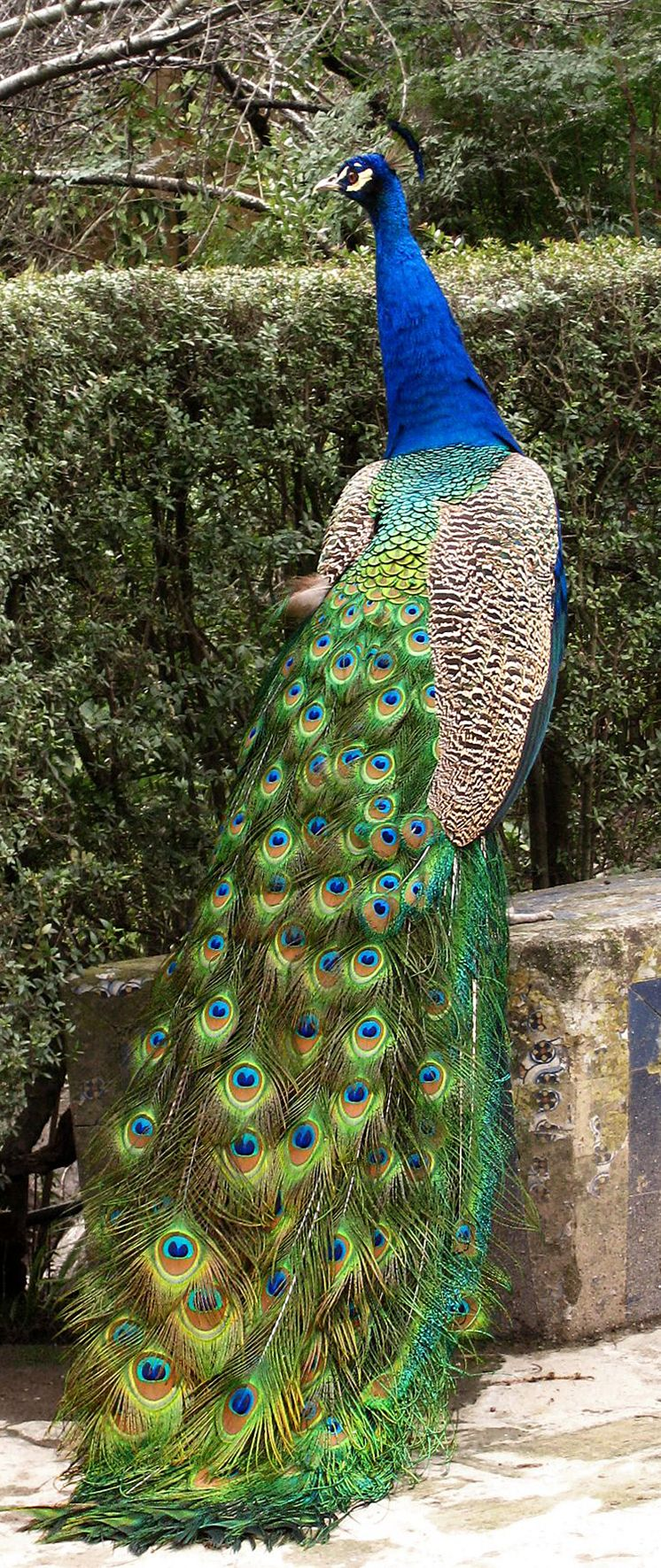 Exotic birds peacock birds of a feather flock together - Beautiful peacock feather ...