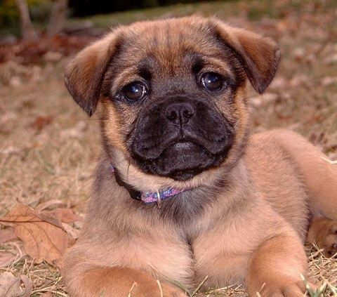 Dd 546 Pugador Puppy Chocolate Labrador Designer Dogs Pug