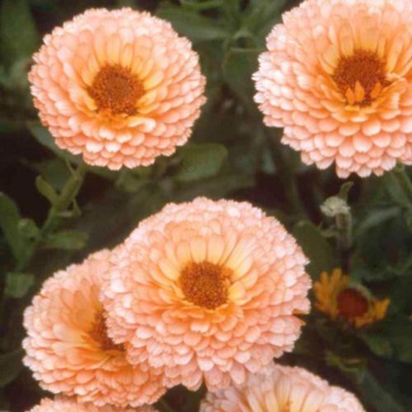 Calendula Seeds PINK SURPRISE Pot Marigold Medicinal